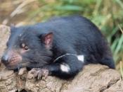 Demônio-da-tasmânia2