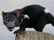 Demônio-da-tasmânia3