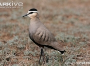 ARKive image GES116585 - Sociable lapwing