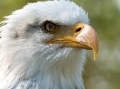 Águia-de-cabeça-branca2