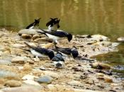 Andorinha-dos-Beirais - Alimentação 2