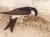 Andorinha-dos-Beirais - Alimentação 5