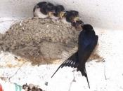 Andorinha-dos-Beirais - Reprodução 1