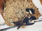 Andorinha-dos-Beirais - Reprodução 3