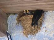 Andorinha-dos-Beirais - Reprodução 6