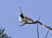 Araponga-da-Amazônia (Procnias albus) 3