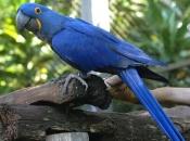 Arara-Azul 2