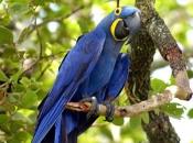 Arara-Azul 4