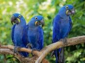 Arara-Azul 5