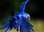 Arara-Azul 6