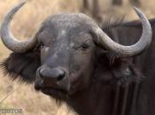Búfalo-africano5