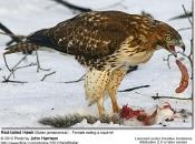 Búteo-de-Cauda-Vermelha Comendo 5