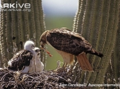 ARKive image GES100849 - Red-tailed hawk