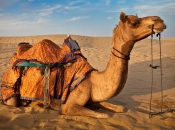 Camelo3