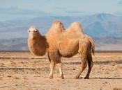 Camelo4