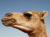Camelo5