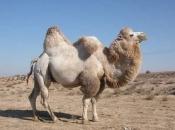 camelo-4