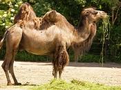 camelo-8