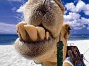 caracteristicas-do-camelo-6