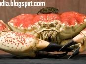 Caranguejo gigante da Tasmânia 3