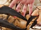 Caranguejo gigante da Tasmânia 5
