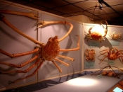 Caranguejo gigante da Tasmânia 6