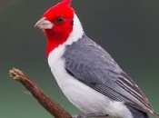 Cardeal-de-Topete-Vermelho 1