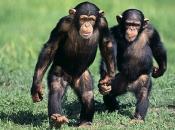 Chimpanzé2