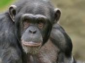 Chimpanzé4
