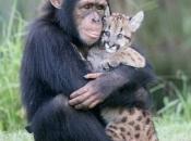 Chimpanzé6