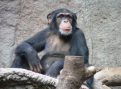 Fotos de Chimpanzé 1