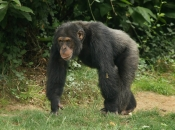 Fotos de Chimpanzé 2