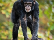 Fotos de Chimpanzé 5