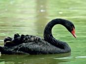 Cisne negro1