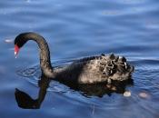 Cisne negro4