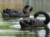 Cisne negro5