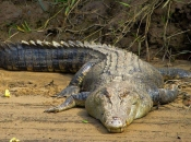 Crocodilo do Nilo1