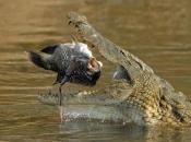 Crocodilo do Nilo5