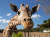 Fotos de Girafa 1