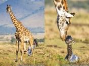 Fotos de Girafa 10