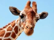 Fotos de Girafa 11