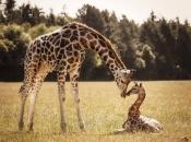 Fotos de Girafa 12