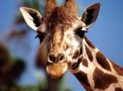 Fotos de Girafa 13