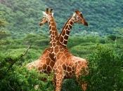 Fotos de Girafa 14