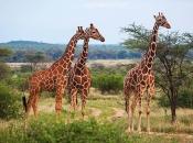 Fotos de Girafa 15