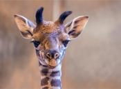 Fotos de Girafa 16