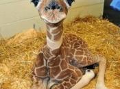 Fotos de Girafa 17
