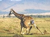 Fotos de Girafa 18