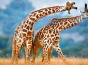 Fotos de Girafa 3