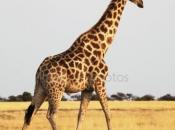Fotos de Girafa 6